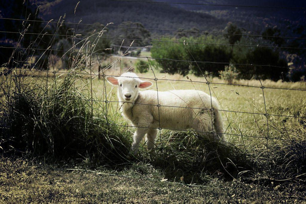 Zäune schützen Schafe und Wohnwagen